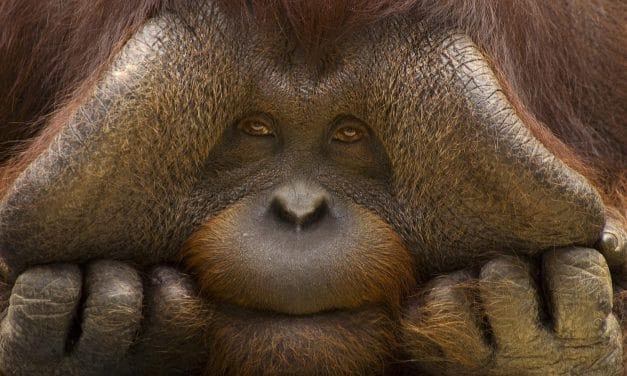 L'orang-outan